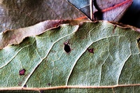 Bay Leaves by Sharon Drummond