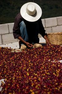 Sorting Coffee Beans by jakeliefer