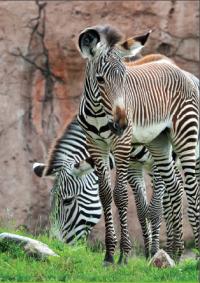 Zebras at Toronto Zoo