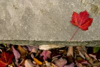 Maple Leaf by Andrew Morrell