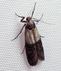 Indian Meal Moth by Wikimedia Commons