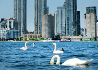 Swans and Condos by James Schwartz