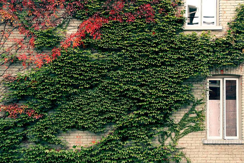 Ivy on brick walls