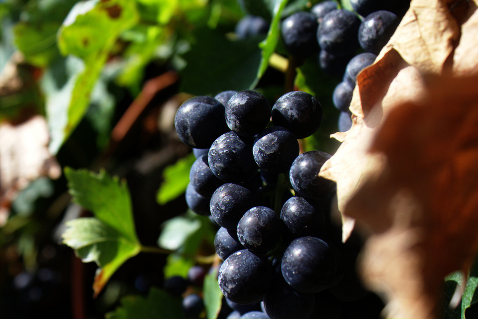 Grapes by tribp