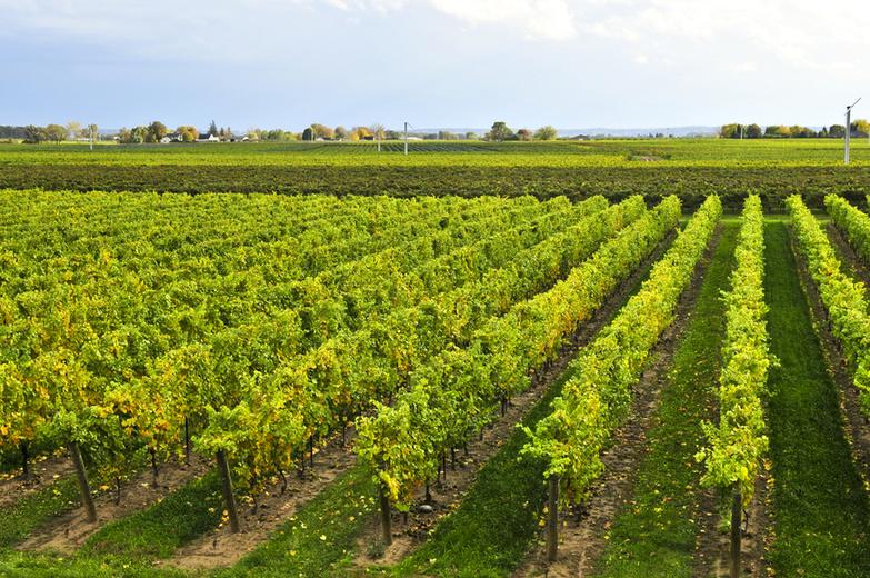 Vineyards Niagara Peninsula