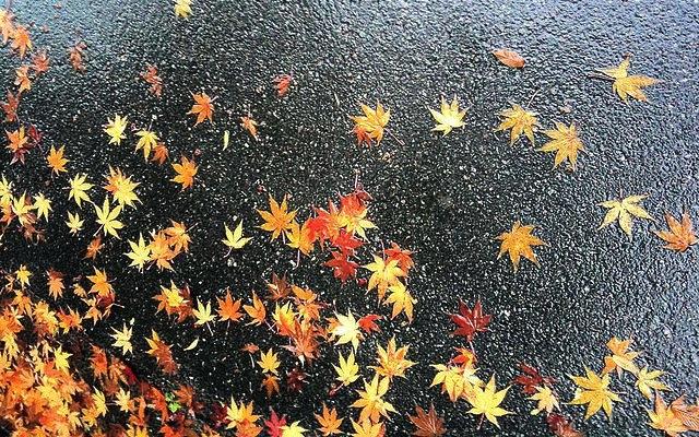 Maple Leaf by Urawa