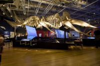 Whales  Tohora Skeletons of Sperm Whales by Ontario Science Centre
