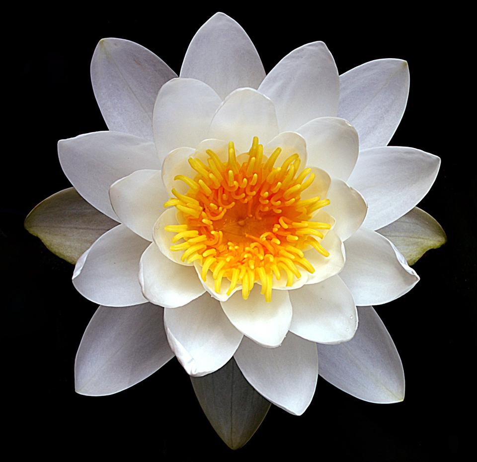Symmetry Lotus